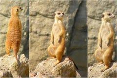 meerkat de collage Photos stock