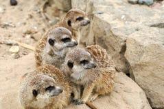Meerkat de famille sur le regard à l'extérieur Images libres de droits