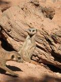Meerkat de Serie imagen de archivo