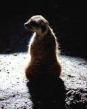 Meerkat de Surricate sur le fond noir Images stock