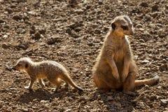 Meerkat - de Woestijn van Kalahari - Botswana Stock Foto