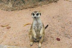 Meerkat Delgado-atado Foto de Stock Royalty Free