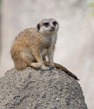 Meerkat Delgado-atado (suricatta do suricata) Foto de Stock Royalty Free