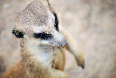 Meerkat desde arriba Fotografía de archivo libre de regalías