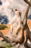 Meerkat in deset Royalty Free Stock Photography
