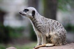 Meerkat di Suricate Fotografia Stock