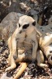 Meerkat die in de zon liggen Royalty-vrije Stock Foto