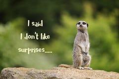 Meerkat die doesn ` t zoals verrassingen Royalty-vrije Stock Afbeeldingen