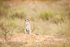 Meerkat die horloge houdt royalty-vrije stock afbeelding
