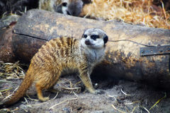 Meerkat die rond bevindend hout de dierentuin bekijken Royalty-vrije Stock Foto's
