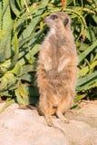 Meerkat die (suricate) bevinden zich Royalty-vrije Stock Foto's