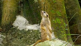 Meerkat die uit eruit zien stock footage