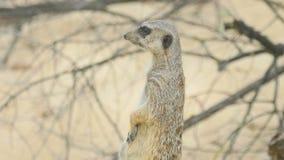 Meerkat die uit eruit zien stock videobeelden