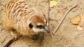 Meerkat die uit eruit zien stock video