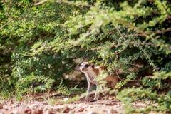 Meerkat die van onder een struik waarnemen royalty-vrije stock foto