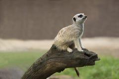 Meerkat die zich op een Logboek bevinden Stock Foto