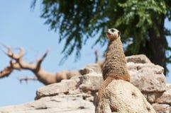 Meerkat die zich op een rots bevindt Stock Foto