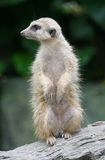 Meerkat die zich op logboek bevindt Stock Foto's