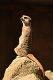 Meerkat die zich waakzaam bevindt royalty-vrije stock afbeeldingen
