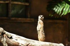 Meerkat die zich waakzaam bevindt stock foto's