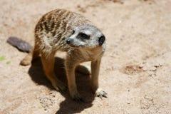 Meerkat die zich in zand in wildernis bevindt. Royalty-vrije Stock Foto