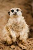 Meerkat in dierentuin Stock Afbeelding