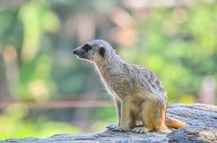 Meerkat in dierentuin Stock Foto's