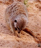 Meerkat digging Royalty Free Stock Image