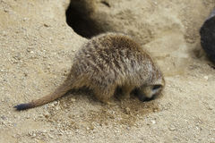 Meerkat digging a hole Royalty Free Stock Photography