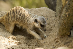 Meerkat diging a sand Royalty Free Stock Photo