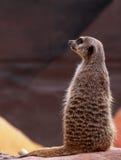 meerkat dopatrywanie Obrazy Stock