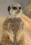 meerkat dopatrywanie Fotografia Royalty Free