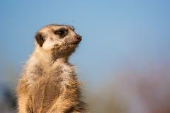 Meerkat dopatrywanie i obsiadanie Zdjęcia Stock