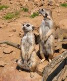 Meerkat dopatrywanie, strzeżenie w safari i Obrazy Royalty Free