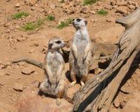 Meerkat dopatrywanie, strzeżenie w safari i Zdjęcia Stock