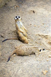 Meerkat duties. The restful and the watchful meerkats taking turns to work and rest Royalty Free Stock Photos