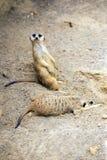 Meerkat duties Royalty Free Stock Photos