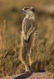 Meerkat on duty. Adult Meerkat on early morning sentry duties on the kalahari Stock Image