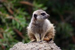 Meerkat watching for Royalty Free Stock Images