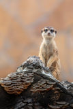 Meerkat on duty Stock Images