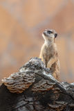 Meerkat on duty Royalty Free Stock Photos