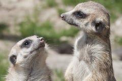 meerkat dwa fotografia royalty free