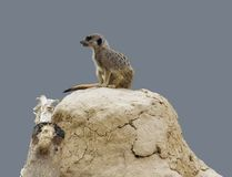 Meerkat on earth pile Stock Photos
