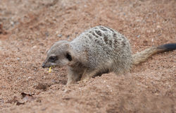 Meerkat Eating Royalty Free Stock Image
