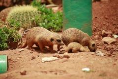 Meerkat is een soort slank lichaam met korte lidmaten, kleine hoofd, kleine oren, uiteinde die van mond, op slangen, kikkers, vis royalty-vrije stock fotografie