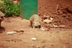 Meerkat is een soort slank lichaam met korte lidmaten, kleine hoofd, kleine oren, uiteinde die van mond, op slangen, kikkers, vis royalty-vrije stock foto