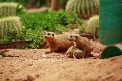 Meerkat is een soort slank lichaam met korte lidmaten, kleine hoofd, kleine oren, uiteinde die van mond, op slangen, kikkers, vis stock afbeeldingen