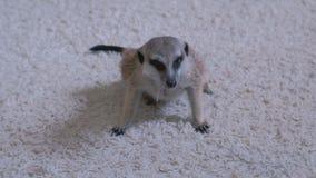 Meerkat eet een muis thuis op een wit tapijt stock footage