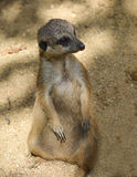 Meerkat in einem Zoo Stockfotos