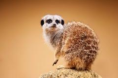 Meerkat eller Suricata Suricatta royaltyfri foto